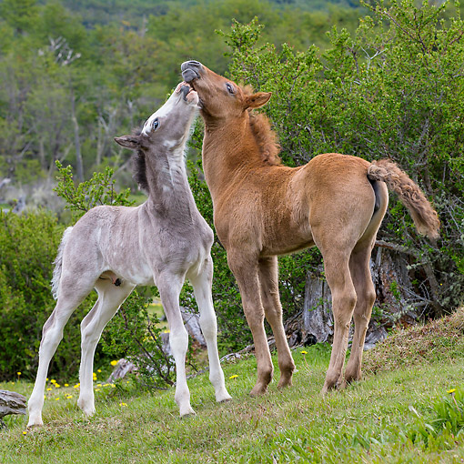 HOR 02 KH0056 01 © Kimball Stock Semi-Wild Criollo Foal And Filly Playing In Meadow In Argentina