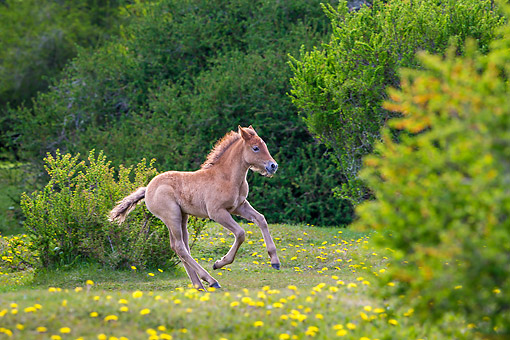 HOR 02 KH0057 01 © Kimball Stock Semi-Wild Criollo Filly Playing In Meadow In Argentina