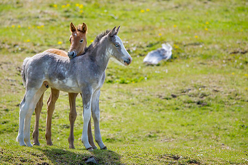 HOR 02 KH0058 01 © Kimball Stock Semi-Wild Criollo Foal And Filly Standing In Meadow In Argentina