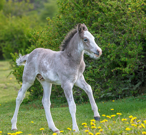 HOR 02 KH0059 01 © Kimball Stock Semi-Wild Criollo Colt Standing In Meadow In Argentina
