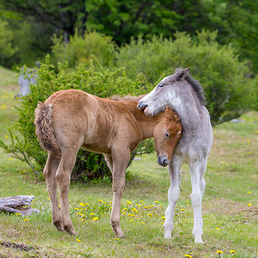 HOR 02 KH0060 01 © Kimball Stock Semi-Wild Criollo Colt And Filly Playing In Meadow In Argentina