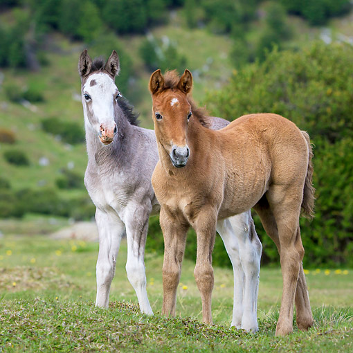 HOR 02 KH0061 01 © Kimball Stock Semi-Wild Criollo Colt And Filly In Meadow In Argentina