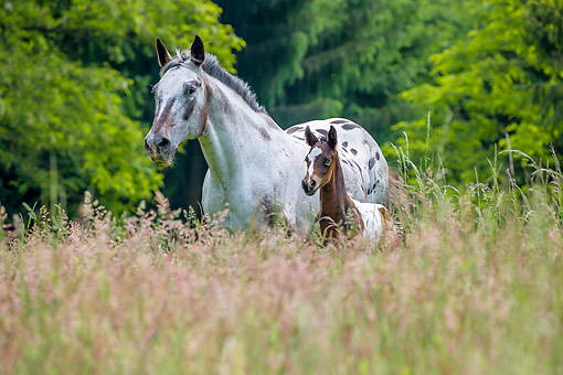 HOR 02 KH0063 01 © Kimball Stock Appaloosa Mare And Neworn Foal Standing In Meadow