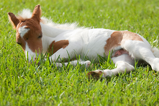 HOR 02 MB0036 01 © Kimball Stock Miniature Horse Foal Sleeping In Pasture