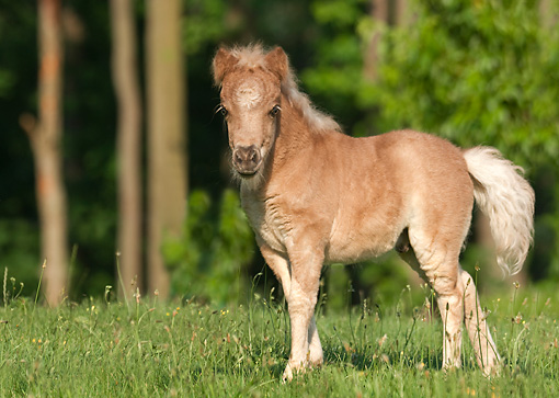 HOR 02 MB0038 01 © Kimball Stock Miniature Horse Foal Standing In Pasture
