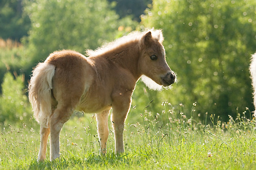 HOR 02 MB0039 01 © Kimball Stock Miniature Horse Foal Standing In Pasture