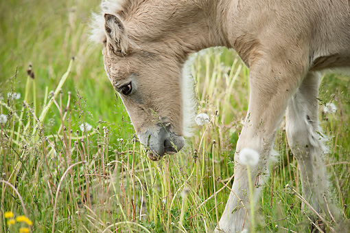 HOR 02 MB0043 01 © Kimball Stock Close-Up Of Gypsy Vanner Foal Grazing In Meadow