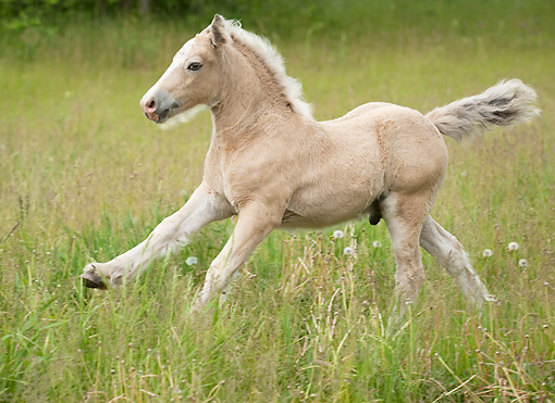 HOR 02 MB0044 01 © Kimball Stock Gypsy Vanner Foal Galloping Through Meadow