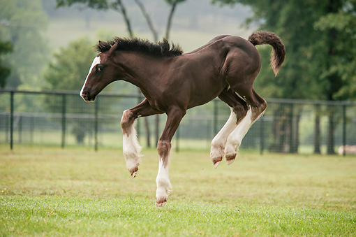 HOR 02 MB0046 01 © Kimball Stock Gypsy Vanner Foal Rearing In Pasture