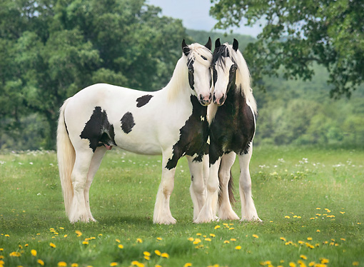 HOR 02 MB0048 01 © Kimball Stock Two Gypsy Vanner Colts Playing In Meadow