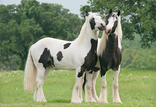 HOR 02 MB0049 01 © Kimball Stock Two Gypsy Vanner Colts Playing In Meadow