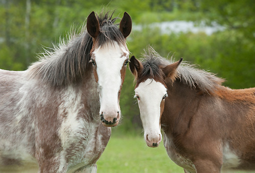 HOR 02 MB0051 01 © Kimball Stock Close-Up Of Two Clydesdale Draft Horse Foals Standing In Pasture