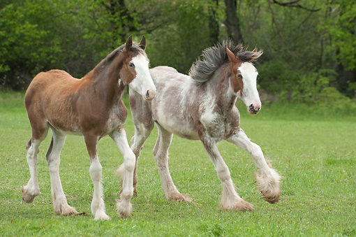 HOR 02 MB0052 01 © Kimball Stock Two Clydesdale Draft Horse Foals Playing In Pasture
