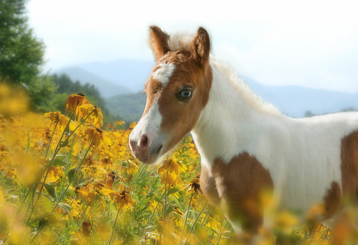 HOR 02 MB0054 01 © Kimball Stock Close-Up Of Miniature Horse Colt Standing By Yellow Wildflowers