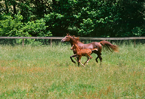 HOR 02 RK0189 02 © Kimball Stock Brown Mare And Foal Trotting In Paddock