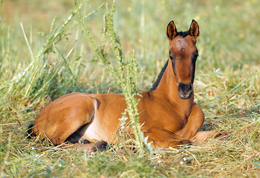 HOR 02 SS0001 01 © Kimball Stock Andalusian Foal Laying In Pasture