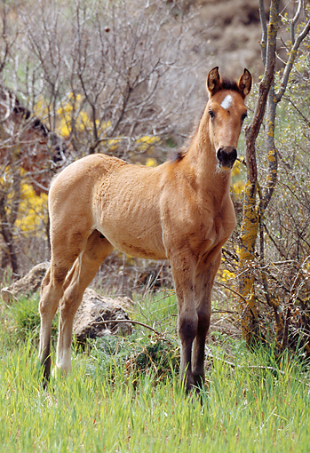 HOR 02 SS0002 01 © Kimball Stock Andalusian Foal Standing In Pasture