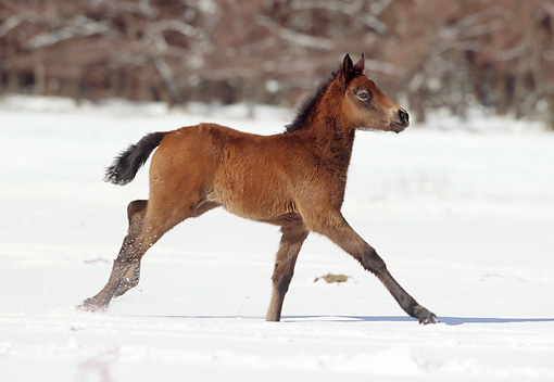 HOR 02 SS0008 01 © Kimball Stock Connemara Pony Foal Galloping In Snow