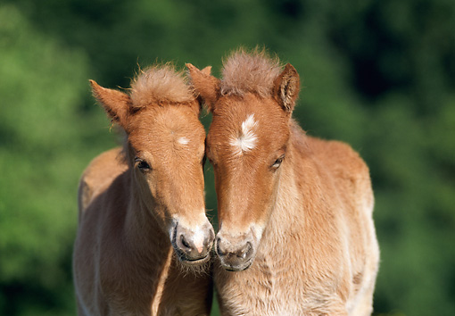 HOR 02 SS0010 01 © Kimball Stock Close-Up Of Chestnut Icelandic Foals Standing In Pasture
