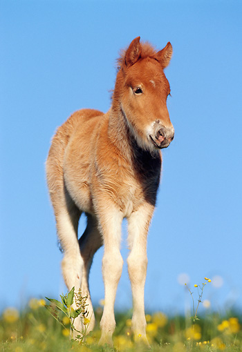 HOR 02 SS0012 01 © Kimball Stock Chestnut Icelandic Foal Standing In Pasture