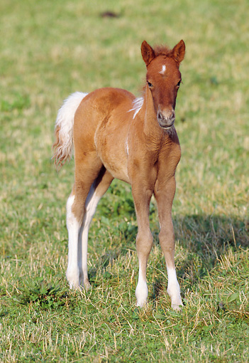 HOR 02 SS0014 01 © Kimball Stock Chestnut Pinto Icelandic Foal Standing In Pasture