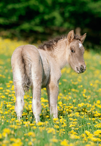 HOR 02 SS0015 01 © Kimball Stock Dun Icelandic Foal Standing In Field Of Yellow Wildflowers