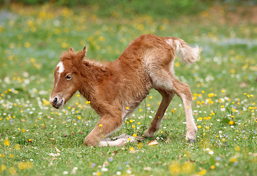 HOR 02 SS0016 01 © Kimball Stock Chestnut Icelandic Foal Laying Down In Pasture