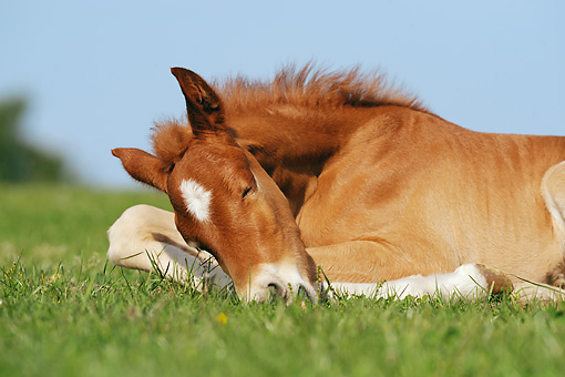 HOR 02 SS0132 01 © Kimball Stock Close-Up Of Chestnut Curly Foal Sleeping On Grass