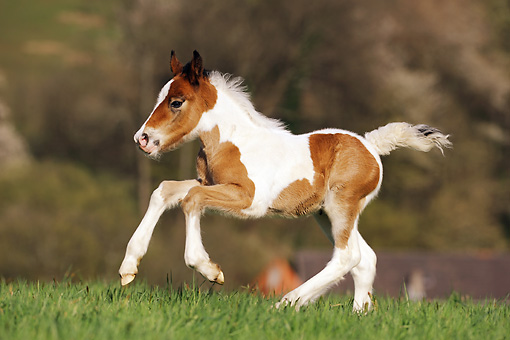 HOR 02 SS0133 01 © Kimball Stock Brown And White Spotted Gypsy Vanner Foal Galloping Through Field Profile