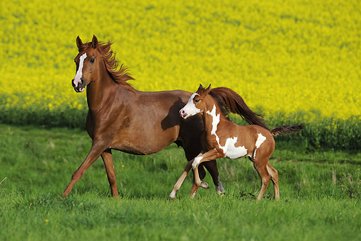 HOR 02 SS0137 01 © Kimball Stock Pinto Arabian Mare Galloping With Foal In Meadow