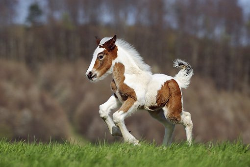 HOR 02 SS0139 01 © Kimball Stock Brown And White Spotted Gypsy Vanner Foal Galloping In Pasture