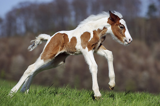 HOR 02 SS0140 01 © Kimball Stock Brown And White Spotted Gypsy Vanner Foal Galloping In Pasture