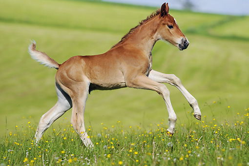 HOR 02 SS0142 01 © Kimball Stock American Saddlebred Foal Galloping Through Field Of Dandelions