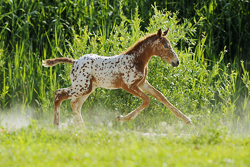 HOR 02 SS0143 01 © Kimball Stock Brown And White Spotted Curly Foal Galloping In Dusty Field