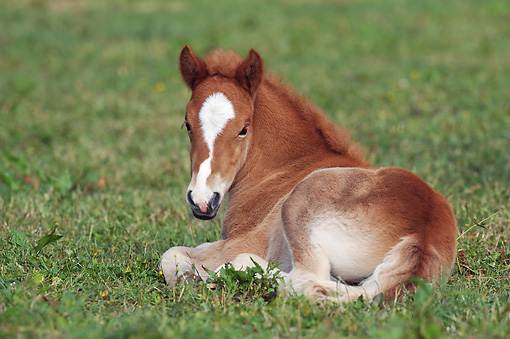 HOR 02 SS0145 01 © Kimball Stock Icelandic Foal Laying On Grass
