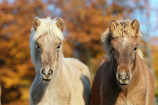 HOR 02 SS0148 01 © Kimball Stock Close-Up Of Two Icelandic Foals Standing By Autumn Trees