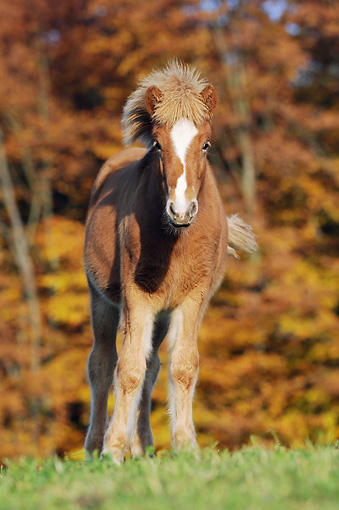 HOR 02 SS0149 01 © Kimball Stock Icelandic Foal Standing On Grass By Autumn Trees