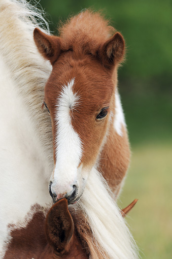 HOR 02 SS0150 01 © Kimball Stock Close-Up Of Icelandic Foal Standing Behind Mother