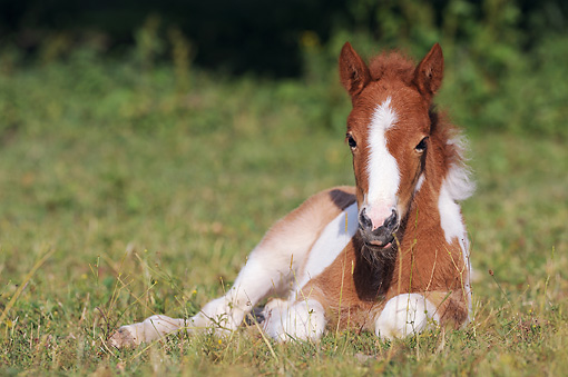 HOR 02 SS0152 01 © Kimball Stock Icelandic Foal Laying On Grass