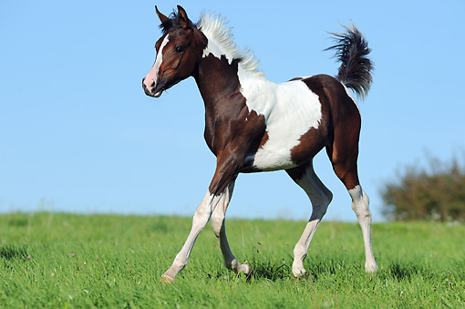 HOR 02 SS0156 01 © Kimball Stock Pinto Arabian Foal Trotting Through Field