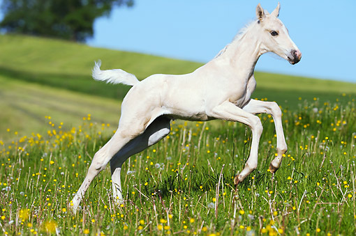 HOR 02 SS0159 01 © Kimball Stock American Saddlebred Foal Galloping In Spring Meadow