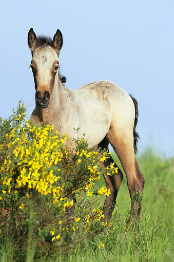 HOR 02 SS0160 01 © Kimball Stock Connemara Pony Foal Standing By Spring Blossoms