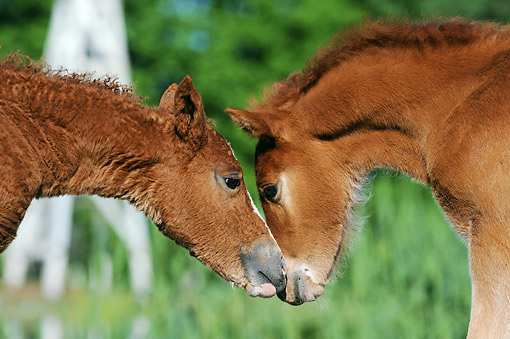 HOR 02 SS0162 01 © Kimball Stock Close-Up Of Curly Horse Foals Standing Nose To Nose