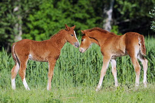 HOR 02 SS0163 01 © Kimball Stock Curly Horse Foals Standing Nose To Nose