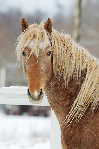HOR 02 SS0164 01 © Kimball Stock Portrait Of Curly Horse Colt In Snow