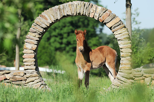HOR 02 SS0165 01 © Kimball Stock Curly Horse Foal Standing Under Stone Arch