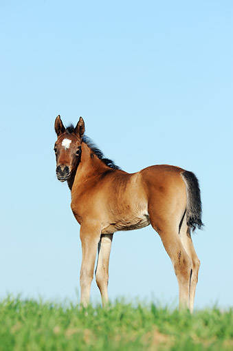 HOR 02 SS0172 01 © Kimball Stock Portrait Of Purebred Arabian Foal Standing On Grass