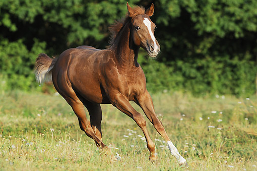 HOR 02 SS0173 01 © Kimball Stock Quarter Horse Foal Galloping Through Field In Summer