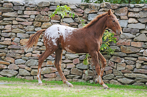 HOR 02 SS0175 01 © Kimball Stock Curly Horse Foal Trotting In Pasture