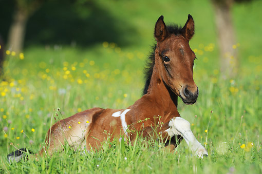 HOR 02 SS0176 01 © Kimball Stock Mangalarga Marchador Foal Laying In Grass